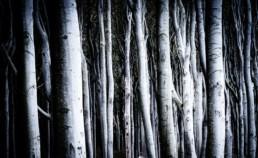 Bäume im Gespensterwald Nienhagen.